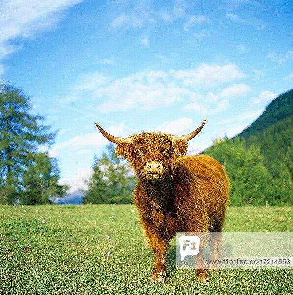 Tiere Schottische Hochlandrind Animals  Highland Cattle  Kyloe  Bò Ghàidhealach