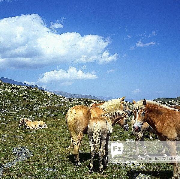 Haflinger Pferde im Ultental  Suedtirol  Italien Weissbrunn   Haflinger horses - Fontana Bianca  Weissbrunn  South Tyrol   Ulten - Valley  Italy  Val d'Ultimo