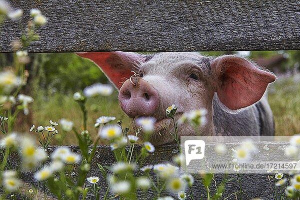 Tier  Schwein  Ferkel  freilaufend  auf Wiese  mit Zaun | Animal  pig  piglet  free-running  on meadow with fence