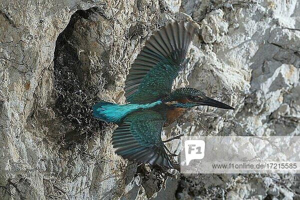 Eisvogel (Alcedo atthis) im Abflug aus der Bruthöhle im Steilufer  Nordrhein-Westfalen  Deutschland  Europa