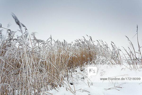 Eisiger Ostwind bewegt die Schilfhalme an der Wattenmeerküste in Keitum/Sylt  Schnee bedeckt das Ufer