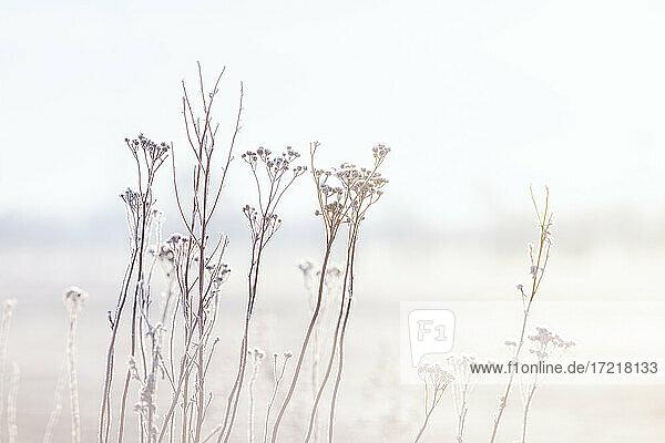 Eiskristalle haften an verblühten Schafgarbe-Stengeln im blassen Licht der winterlichen Morgensonne