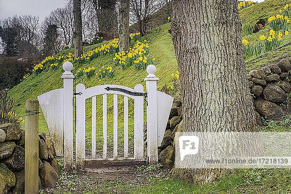 Weiße Gartenpforte in Keitum/Sylt. Im Hintergrund blühen hunderte gelber Narzissen