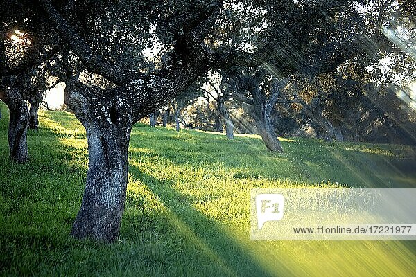 Oak trees illuminated by rays of setting sun