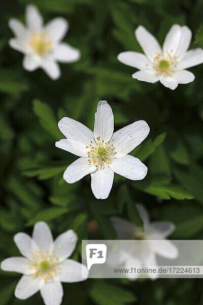 Kopf des weiß blühenden Buschwindröschens (Anemonoides nemorosa)