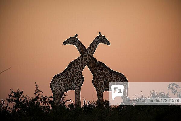Two giraffe  Giraffa giraffa  silhouetted against the sunset  necks crossing.