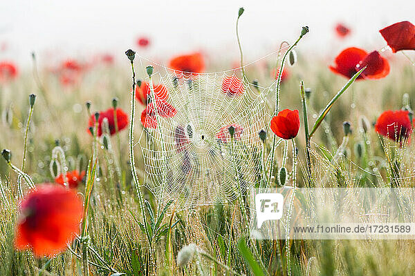 Poppies and cobwebs on grasses in the early morning