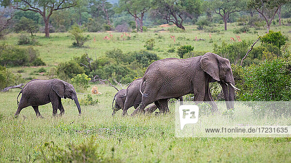 A herd of elephant  Loxodonta?africana  and a lion  Panthera leo.