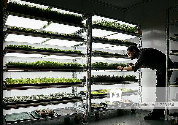 Ein Mann kümmert sich um Schalen mit Microgreens-Setzlingen  die in einer städtischen Farm wachsen