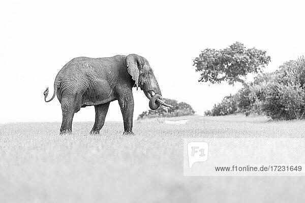 Ein Elefant  Loxodonta?africana auf einer Lichtung  Rüssel eingerollt