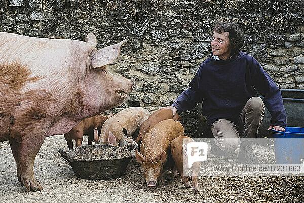 Woman feeding Tamworth pig sow and piglets on a farm.