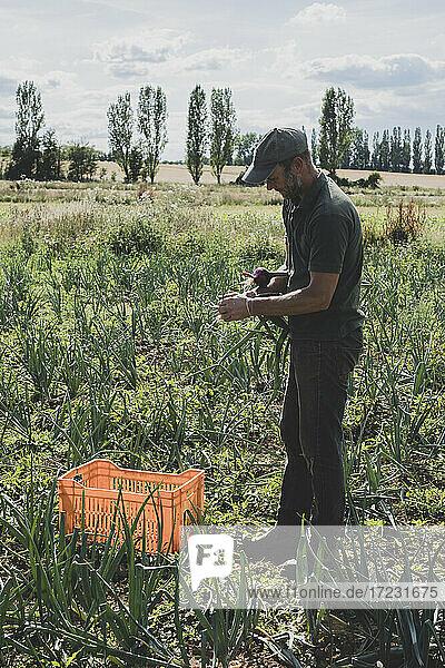 Ein Bauer steht auf einem Feld und hält frisch gepflückte rote Zwiebeln.