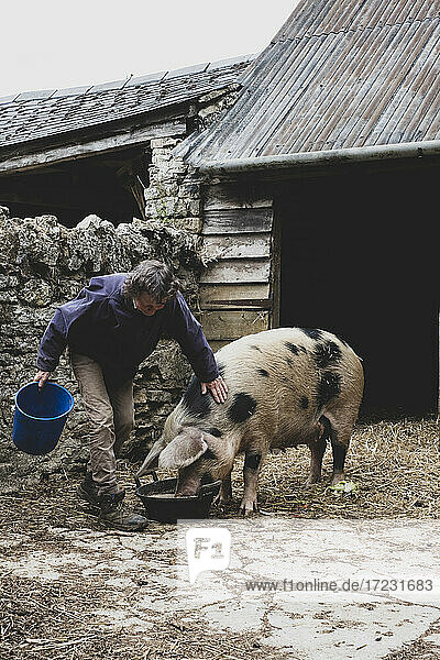 Woman stroking Gloucester Old Spot sow outside a sty  feeding from bowl.