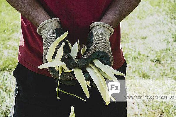 Nahaufnahme eines Landwirts mit frisch gepflückten gelben Stangenbohnen.