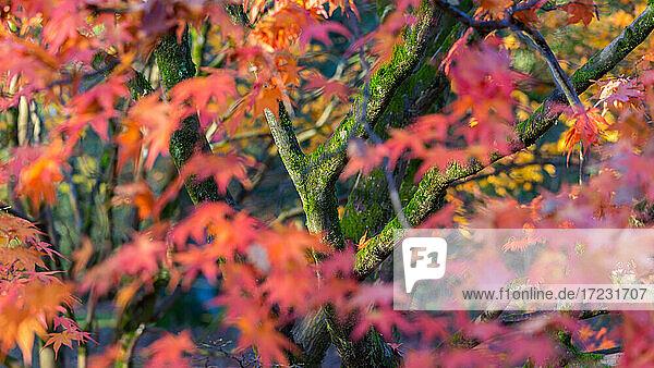 Herbstblätter auf Ahornbäumen  England  Vereinigtes Königreich