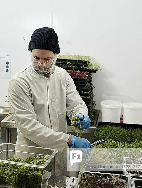 Mann erntet Microgreens in städtischer Farm