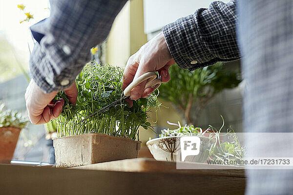 Ernte von Microgreens mit einer Schere zu Hause für Salat Ernte von Microgreens mit einer Schere zu Hause für Salat