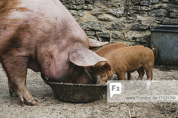 Pigs  Tamworth sow and two piglets feeding from a bowl.