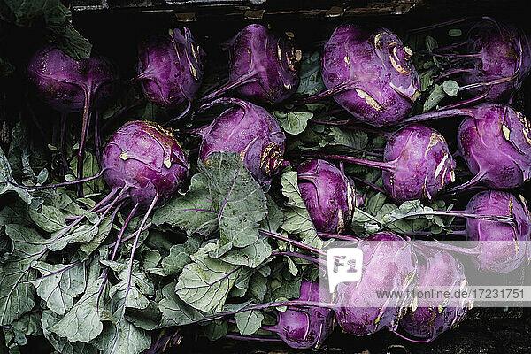 Nahaufnahme eines frisch gepflückten violetten Kohlrabi aus hohem Winkel.