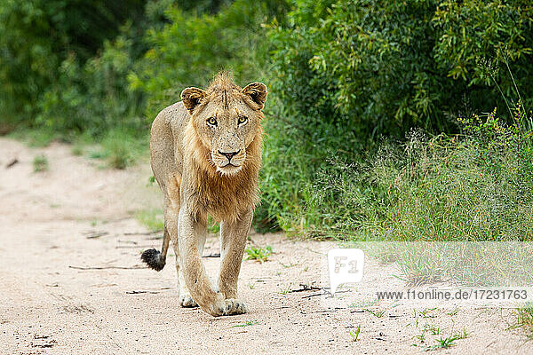 A young male lion  Panthera leo  walking on a road