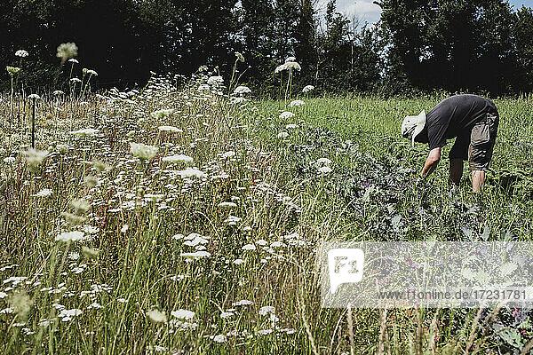 Man standing in a field  harvesting vegetables.