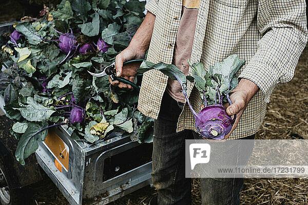 High angle close up of farmer holding freshly picked purple kohlrabi.