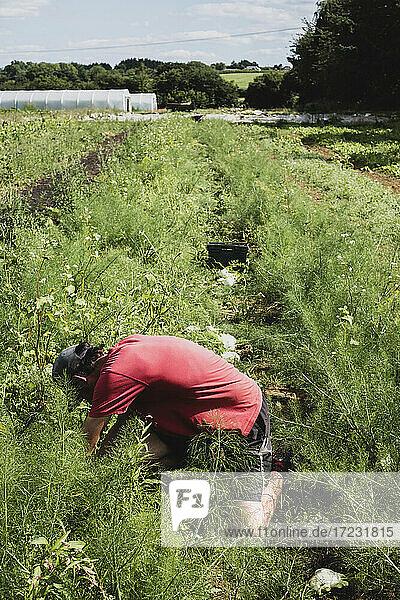Landwirt kniend auf einem Feld  Fenchel erntend.