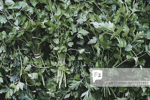 Nahaufnahme von Büscheln frisch gepflückter glatter Petersilie aus hohem Winkel.