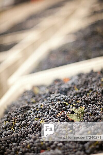 Harvested ripened wine grapes in crates  grapes  wine making  wine  farm  harvesting  vineyard  winery