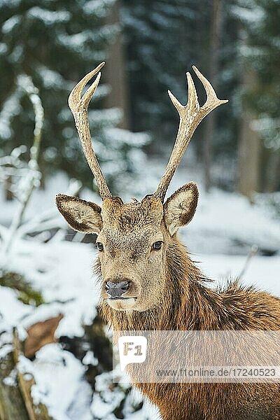 Red deer (Cervus elaphus)  male  portrait  captive  Bavaria  Germany  Europe