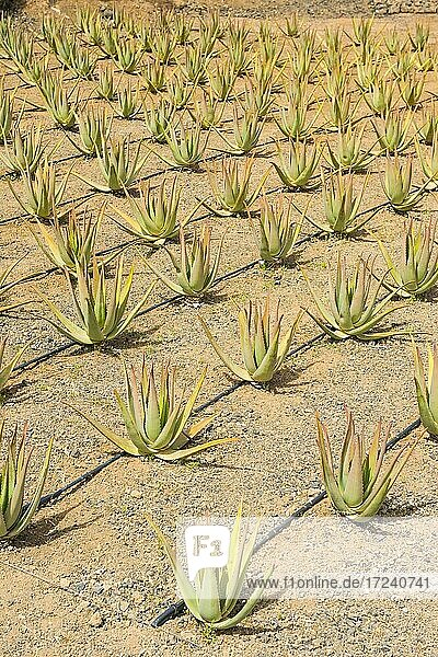 Field with Aloe Vera plants  Fuerteventura  Canary islands  Spain  Europe