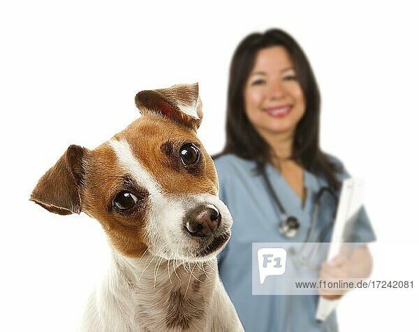 Adorable jack russell terrier and female veterinarian behind isolated on a white background