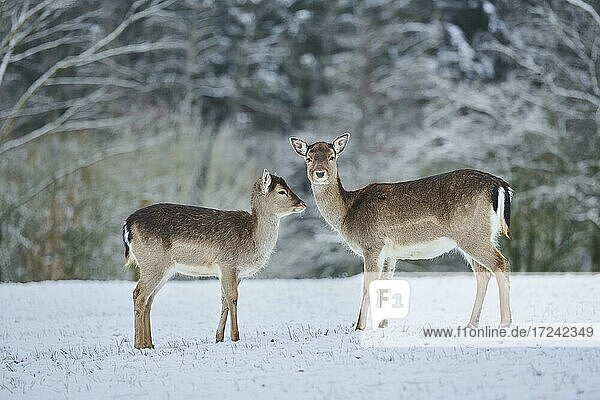 Fallow deer (Dama dama)  female with young on a snowy meadow  captive  Bavaria  Germany  Europe