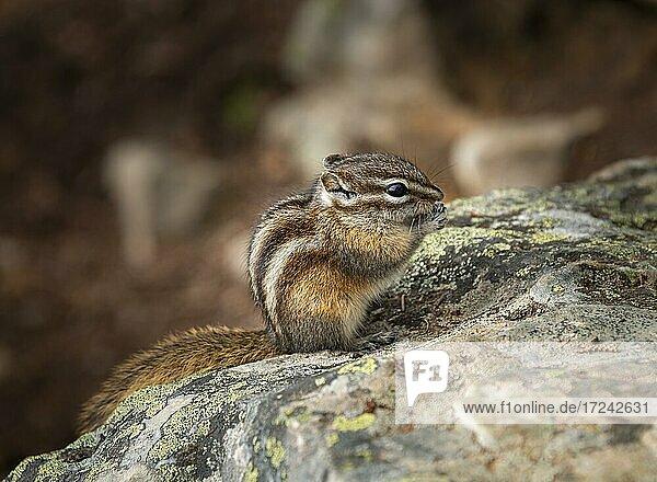 Least chipmunk (Neotamias minimus) sitting on rocks and eating  Banff National Park  Alberta  Canada  North America