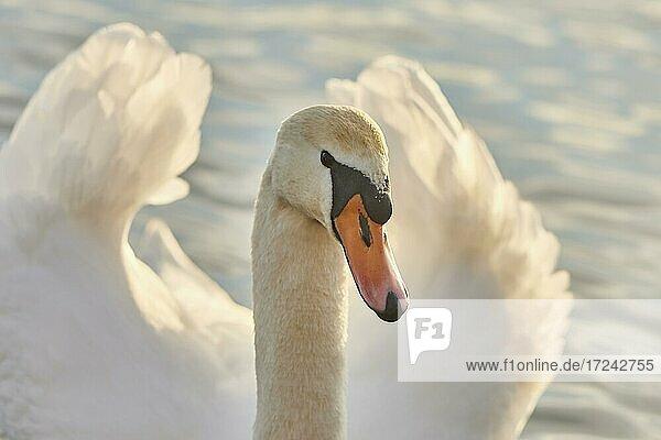 Portrait of a mute swan (Cygnus olor)  portrait  Bavaria  Germany  Europe