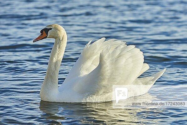 Mute swan (Cygnus olor) swimming in water  Bavaria  Germany  Europe