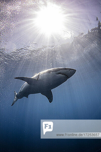 Mexico  Guadalupe Island  Great white shark underwater