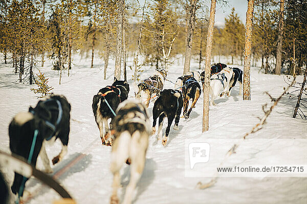 Husky dogs running through trees in forest during winter