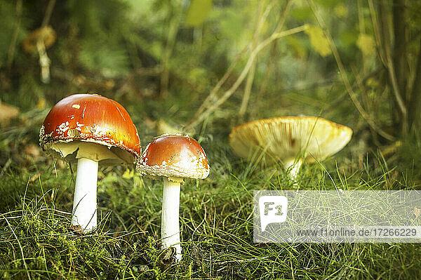 Italien  Piemont  Valle Cannobina  Pilz Amanita Muscaria im Gras