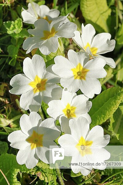 Close up of white primroses in spring  Switzerland  Europe