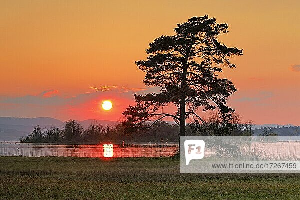 Large pine tree in the backlight at the lake of Zurich near Hurden in the canton Schwyz  Switzerland  Europe