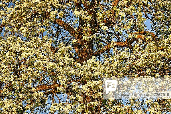 Abstract cutout of blossoming pear tree at sunset in spring  Switzerland  Europe