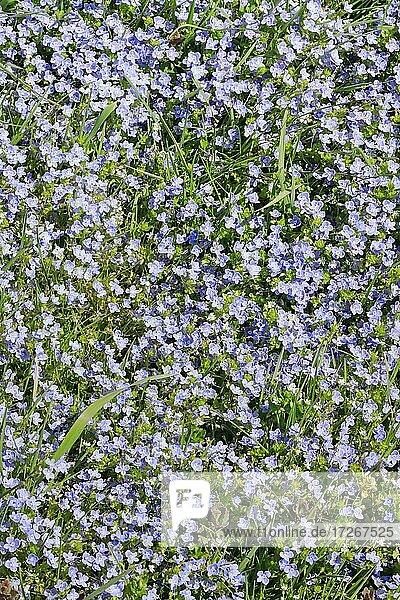 Close-up of slender speedwell (Veronica filiformis)  Switzerland  Europe