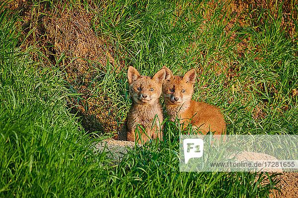 Rotfuchs (Vulpes vulpes)  zwei Fuchs-Welpen vor ihrem Bau  Heinsberg  Nordrhein-Westfalen  Deutschland  red fox (Vulpes vulpes)  two fox pups in front of their den  Heinsberg  North Rhine-Westphalia  Germany 