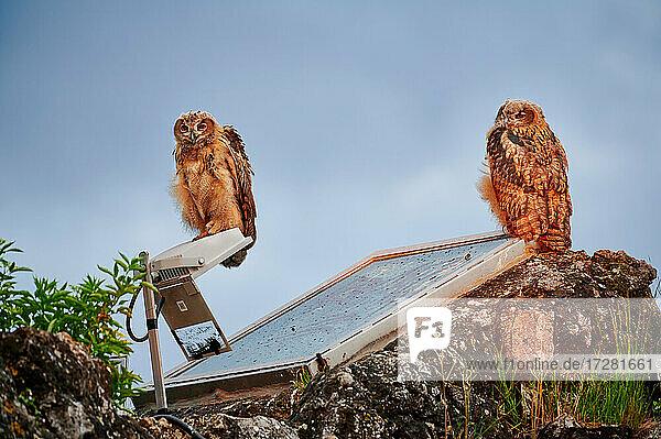 zwei junge Uhus (Bubo bubo) in staedtischer Umgebung  Heinsberg  Nordrhein-Westfalen  Deutschland |two young Eurasian eagle-owl (Bubo bubo) in urban surroundings  Heinsberg  North Rhine-Westphalia  Germany|