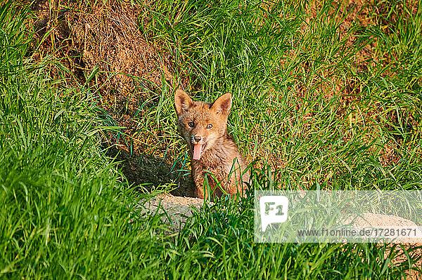 Rotfuchs (Vulpes vulpes)  Fuchs-Welpe vor Bau  Heinsberg  Nordrhein-Westfalen  Deutschland |red fox (Vulpes vulpes)  Fox puppy in front of den  Heinsberg  North Rhine-Westphalia  Germany|