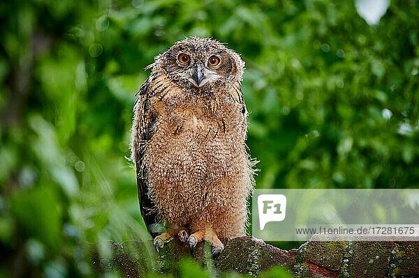 junger Uhu (Bubo bubo)  Heinsberg  Nordrhein-Westfalen  Deutschland  young Eurasian eagle-owl (Bubo bubo)  Heinsberg  North Rhine-Westphalia  Germany 