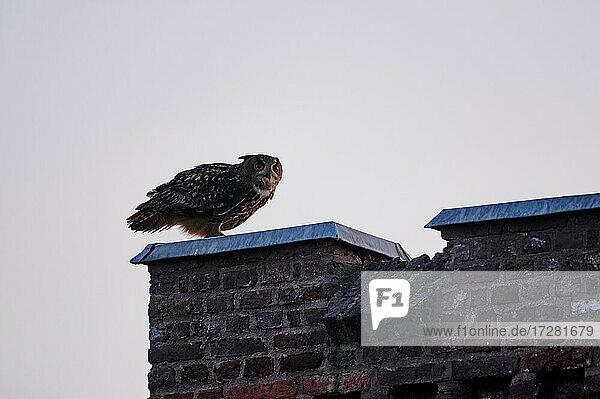 Uhu (Bubo bubo)  Heinsberg  Nordrhein-Westfalen  Deutschland |Eurasian eagle-owl (Bubo bubo)  Heinsberg  North Rhine-Westphalia  Germany|