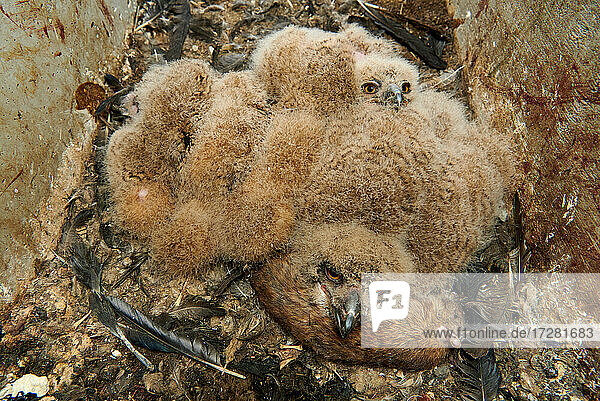 drei junge Uhu Kueken im Nest (Bubo bubo)  Heinsberg  Nordrhein-Westfalen  Deutschland |three young Eurasian eagle-owl chicks (Bubo bubo) in nest  Heinsberg  North Rhine-Westphalia  Germany|