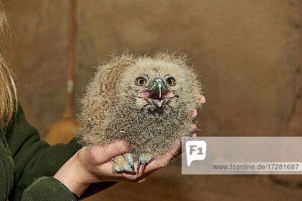junger Uhu (Bubo bubo) beim beringen  Heinsberg  Nordrhein-Westfalen  Deutschland |young Eurasian eagle-owl (Bubo bubo) while ringing  Heinsberg  North Rhine-Westphalia  Germany|